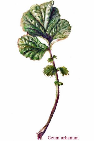 Wildpflanzen kennenlernen und zeichnen mit Nadia